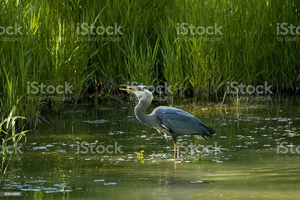 Heron Eating Dinner royalty-free stock photo