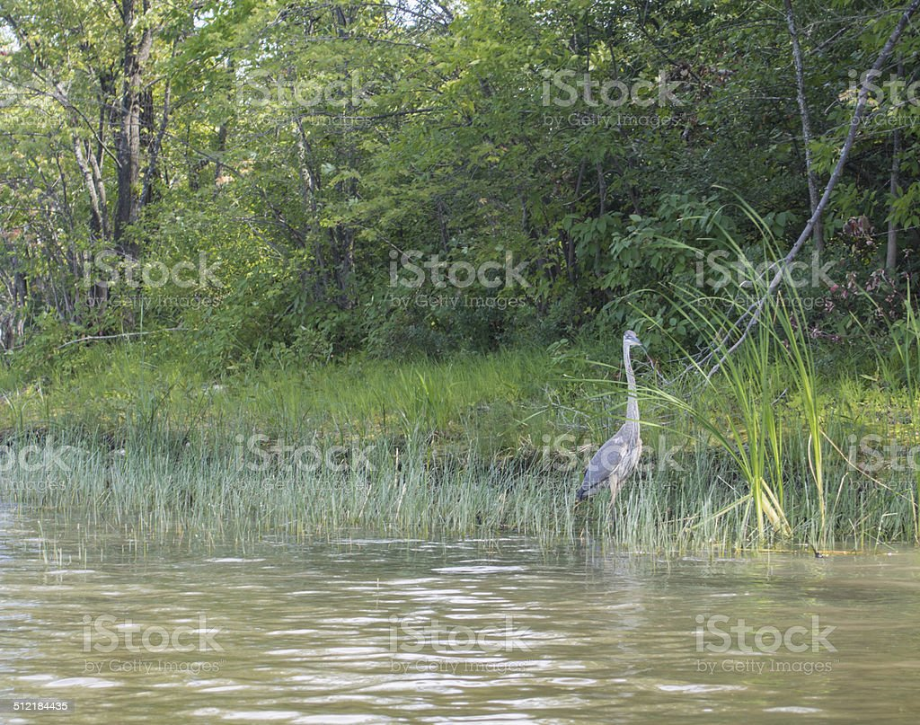 Heron fishing on a river stock photo