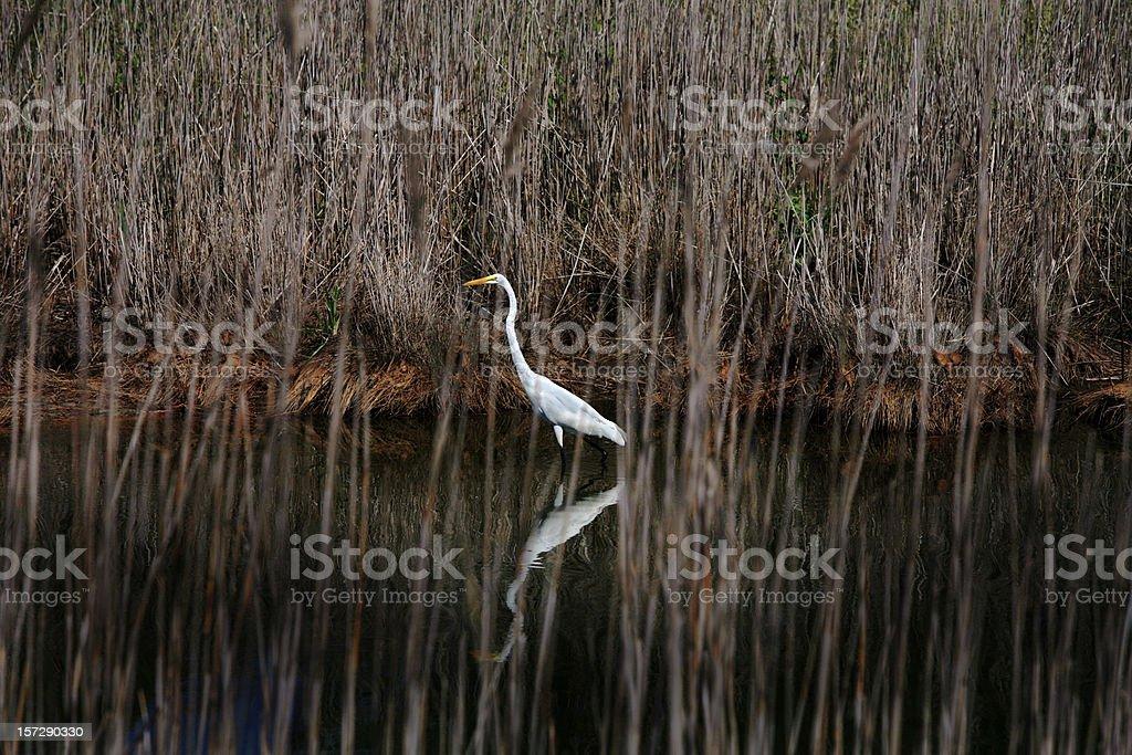 Heron in Marsh, Maryland Bird royalty-free stock photo