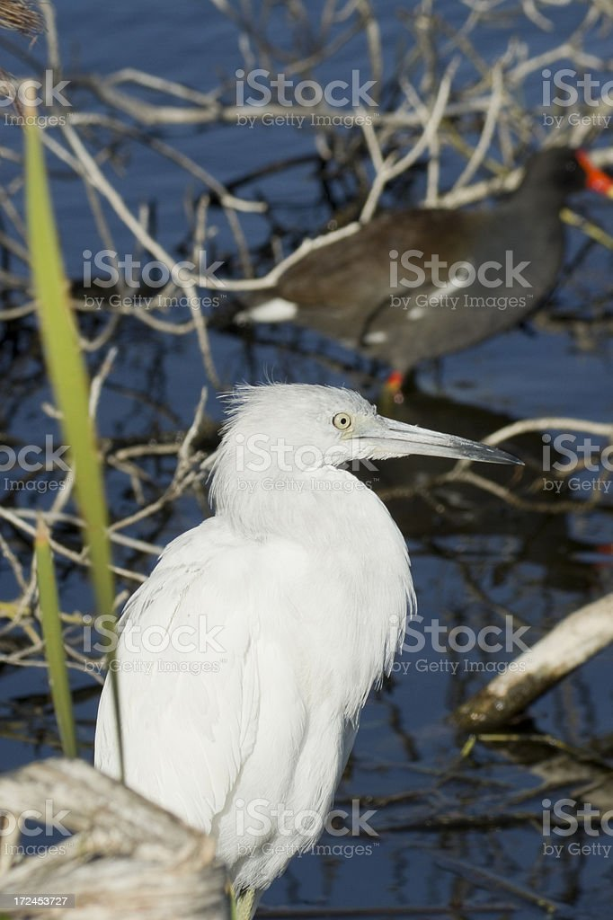 heron - juvenile little blue close up stock photo