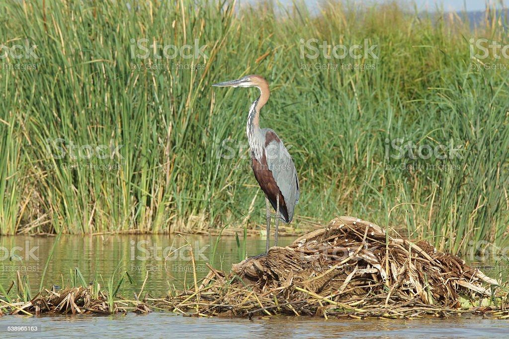 Heron, Lake Chamo, Ethiopia, Africa stock photo