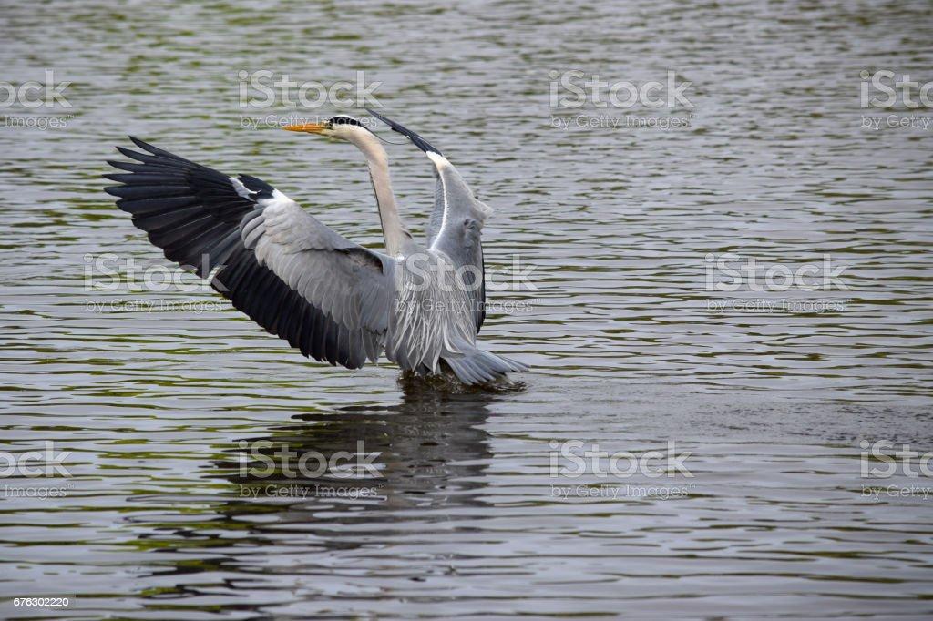 Heron Landing stock photo