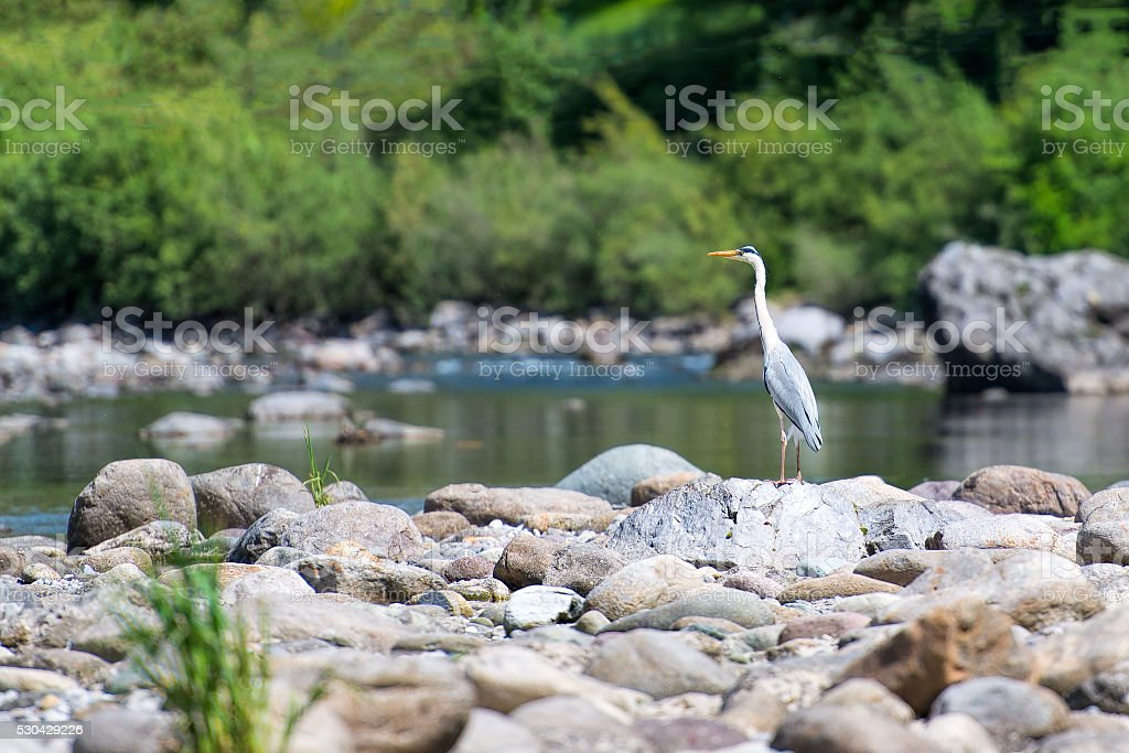 Heron latch on the stones in a river stock photo