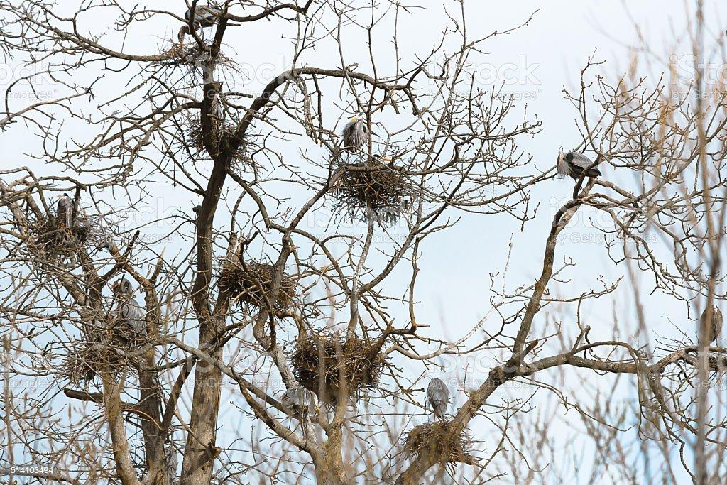 Heron Nests stock photo
