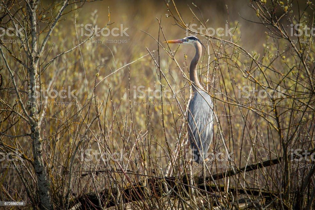 Heron on log behind some brush. stock photo