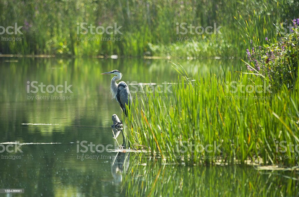Heron Perched in the Pond stock photo