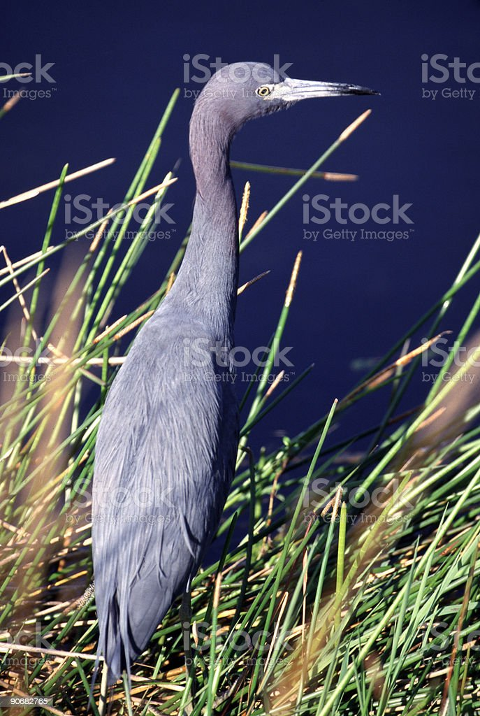 Heron royalty-free stock photo