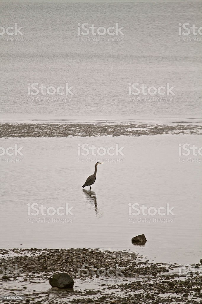 Heron standing in ocean stock photo