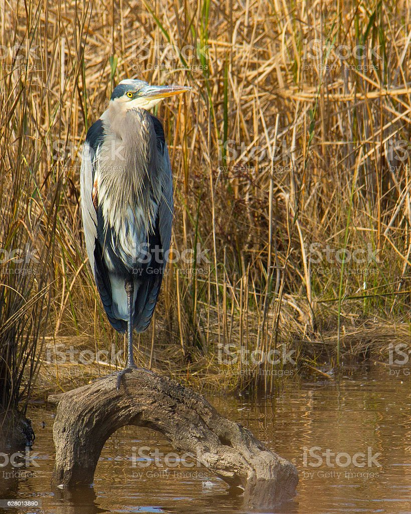 Heron standing on log in water stock photo