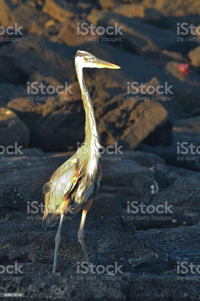 Heron Standing Tall stock photo
