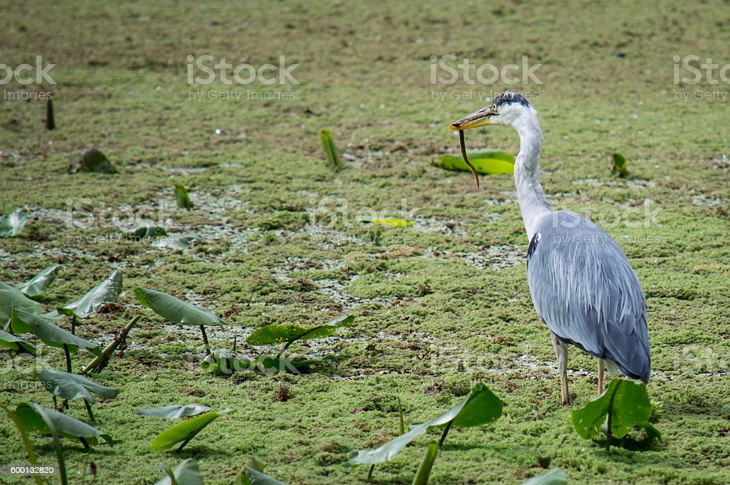 Heron with eel standing in pondweed stock photo