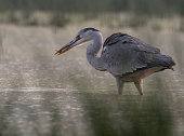 Heron with fish. Bird with catch