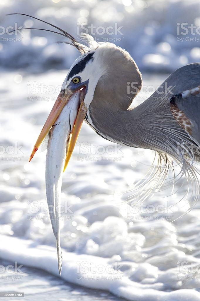 Heron with Fish stock photo