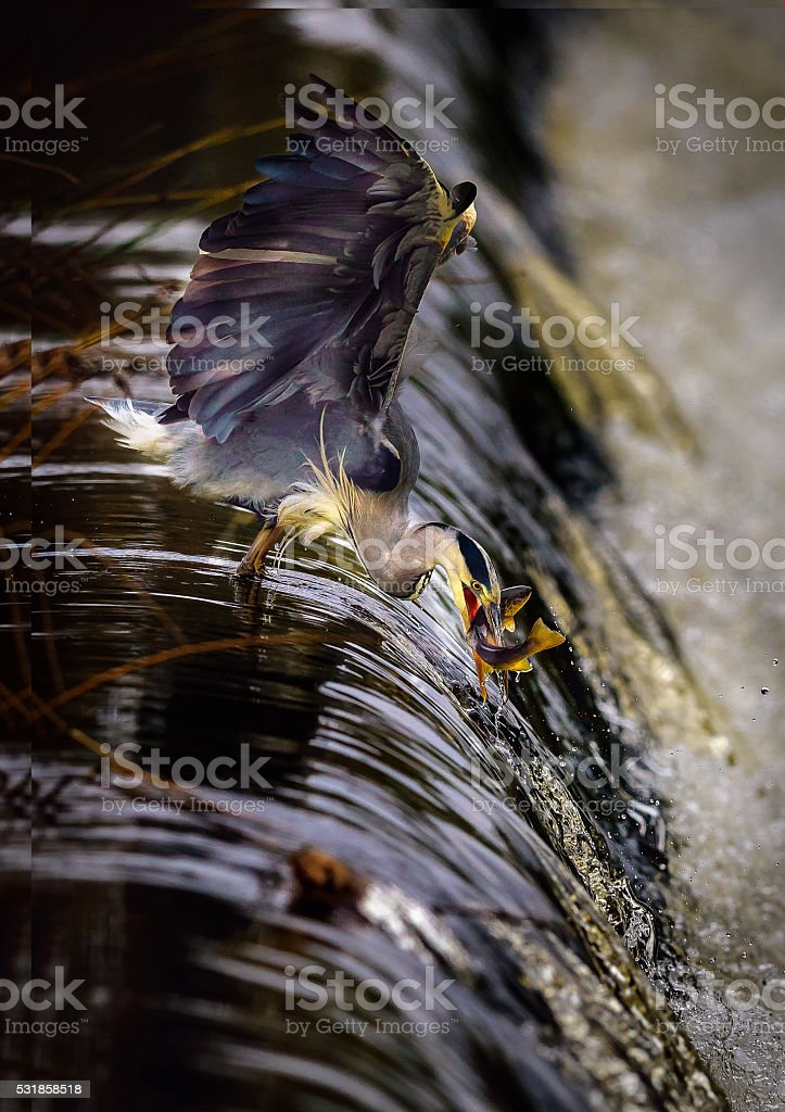 Heron with Trout stock photo
