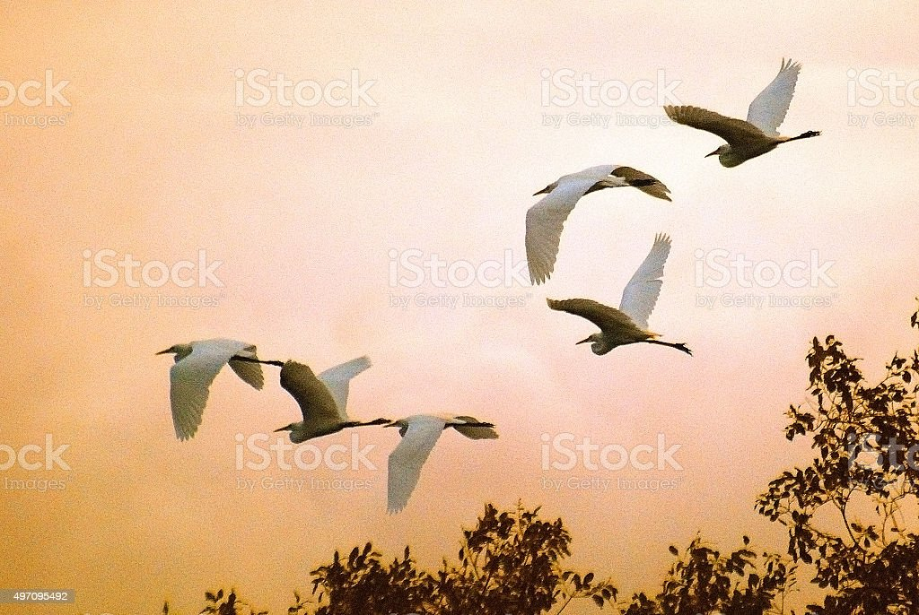 Herons flying in the evening sky stock photo