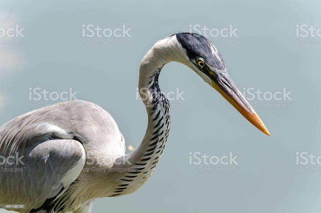 herons hunting stock photo