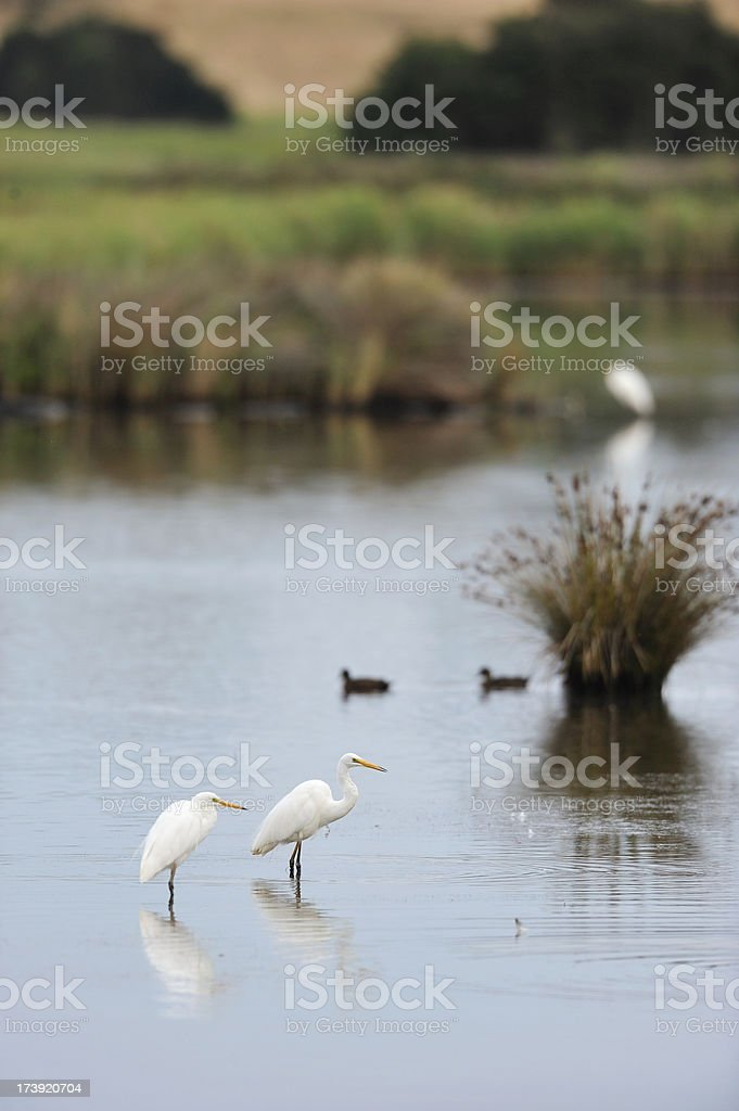 Herons in the morning stock photo