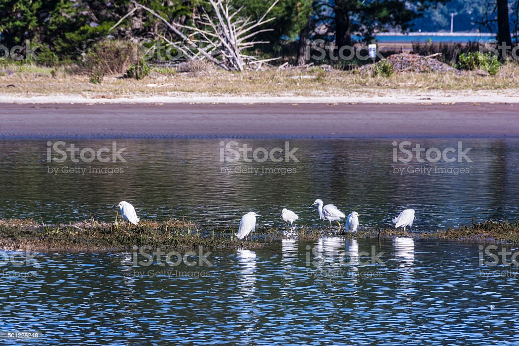 Herons on the pond in Bolinas, California stock photo