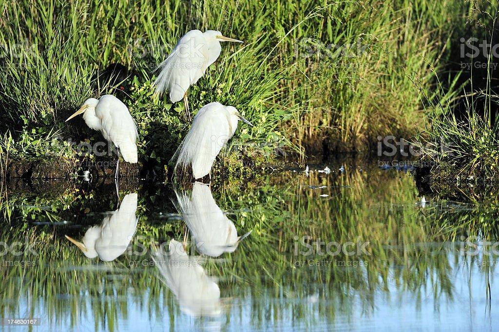 herons stock photo