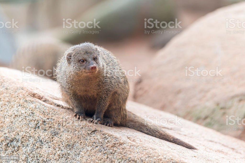 Herpestes (mongoose family) stock photo