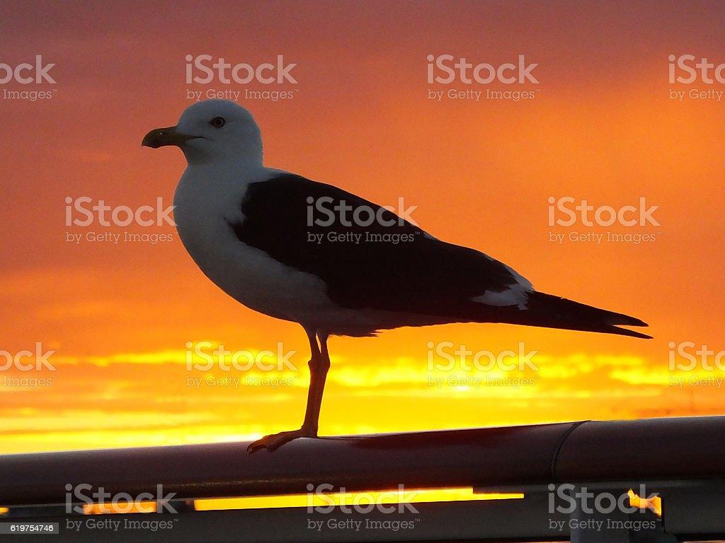 Herring Gull 003 stock photo
