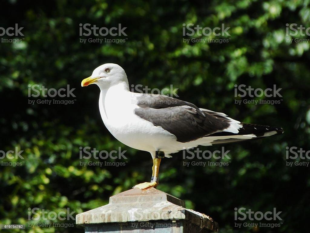 Herring Gull 004 stock photo