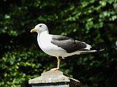 Herring Gull 004