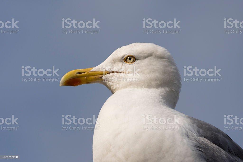 Herring Gull against a blue sky stock photo
