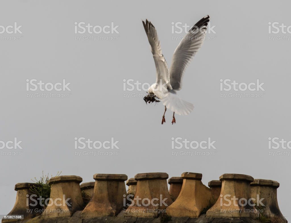 Herring gull (Larus argentatus) building nest on chimney stack stock photo