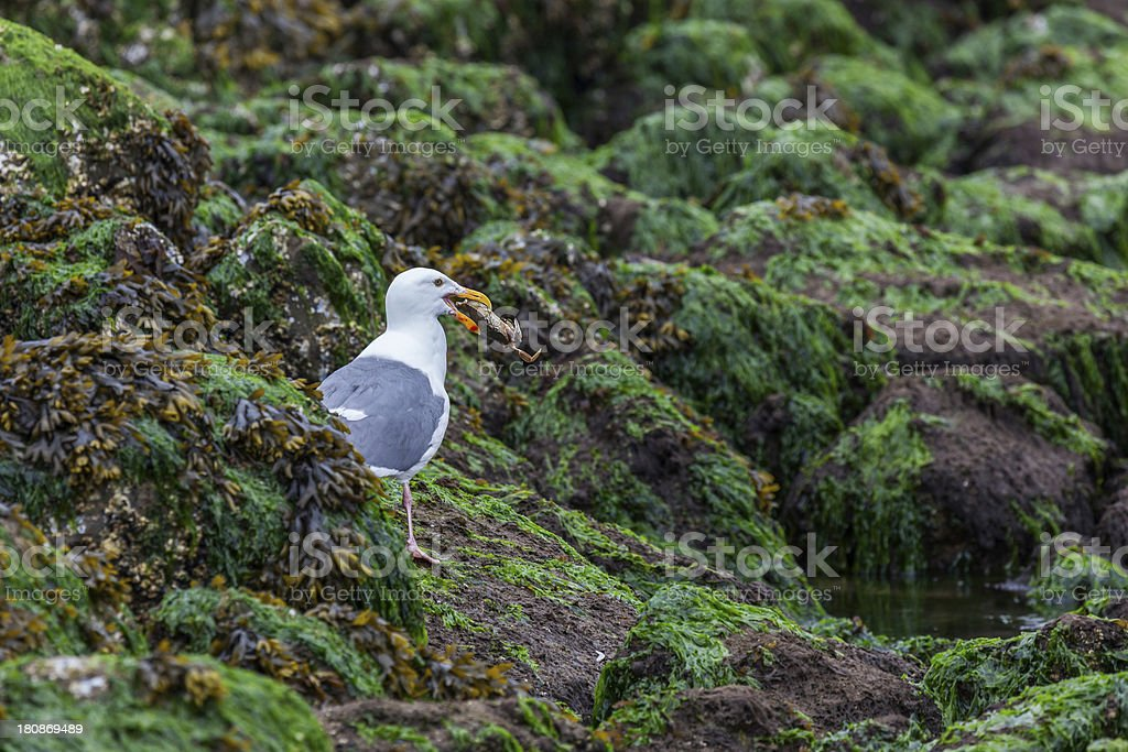 Herring Gull Eating a Large Crab royalty-free stock photo