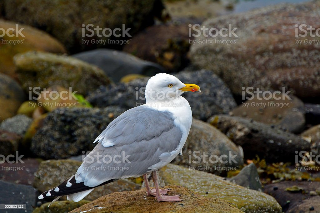 Herring gull, Farne Islands Nature Reserve, England stock photo