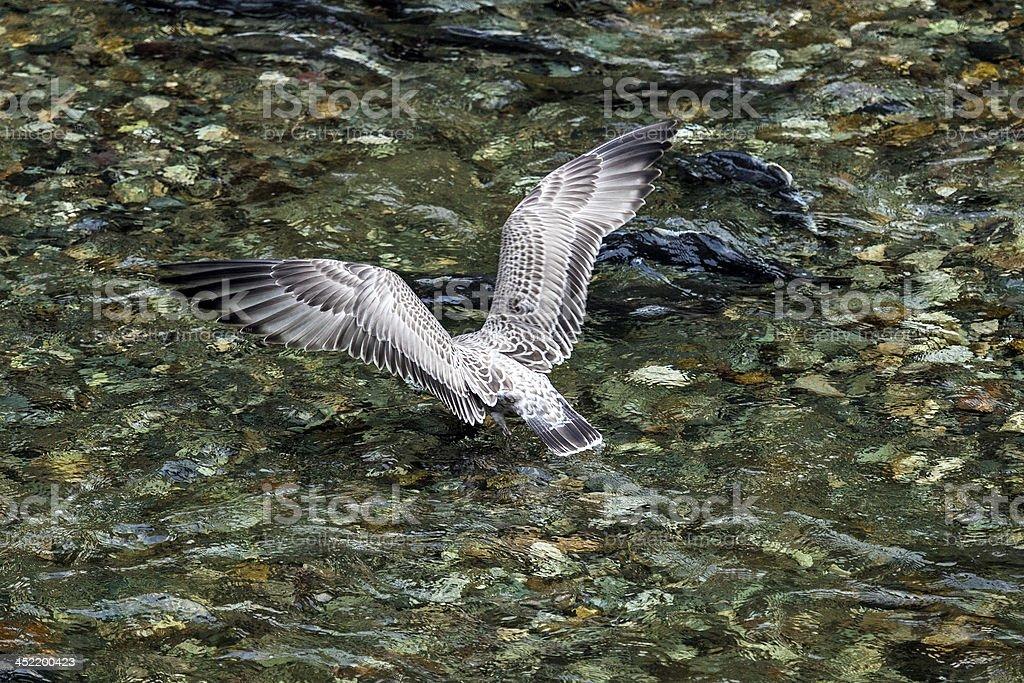 Herring Gull fishing stock photo