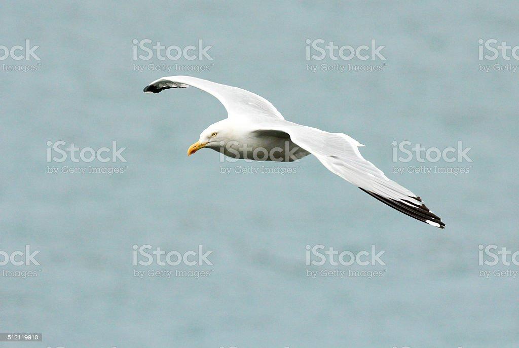 Herring Gull in Cardigan Bay, Wales stock photo