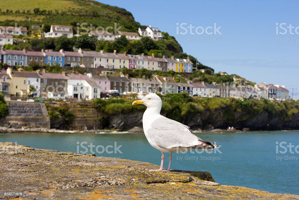 Herring Gull in Cardigan Bay, Wales stock photo