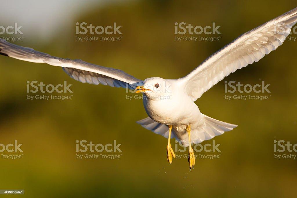 Herring gull in flight stock photo