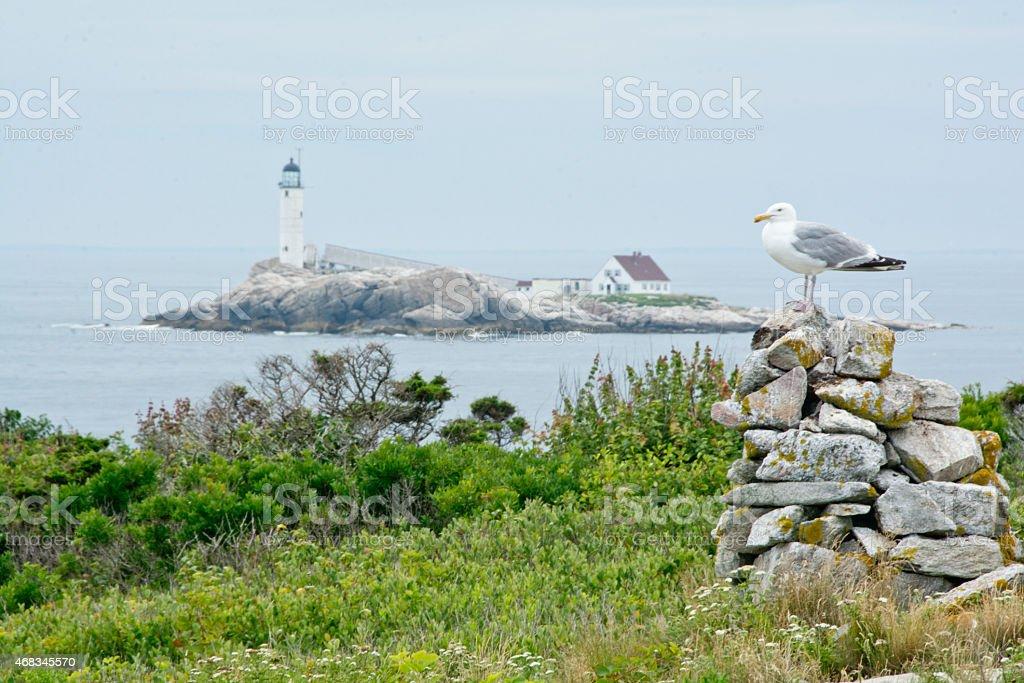 Herring gull in front of White Island stock photo