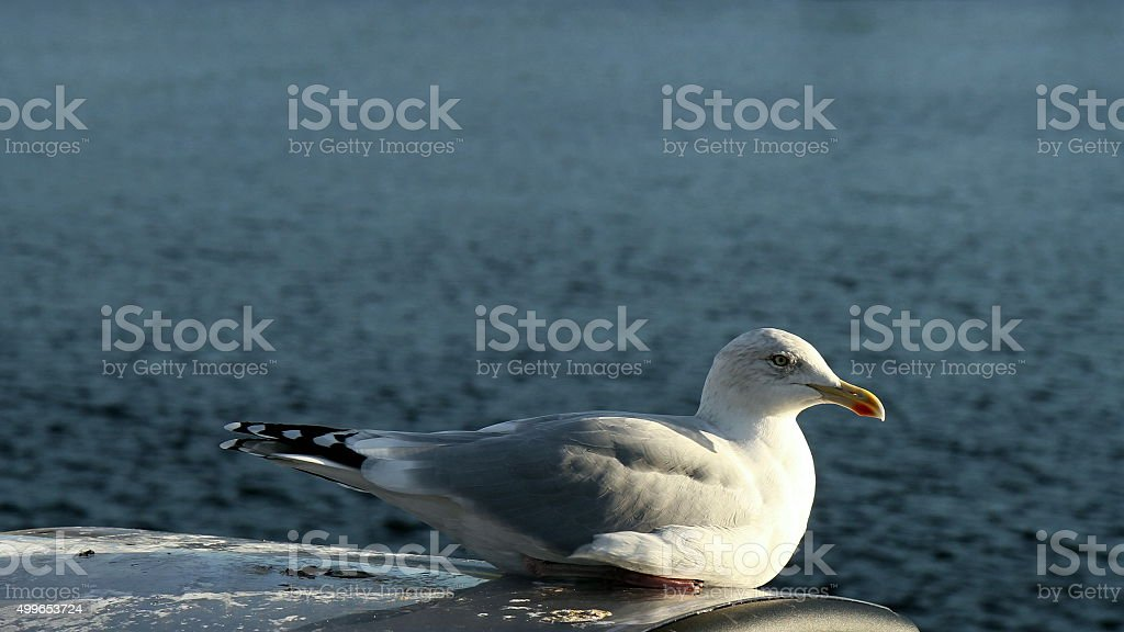 Herring gull in seated position stock photo