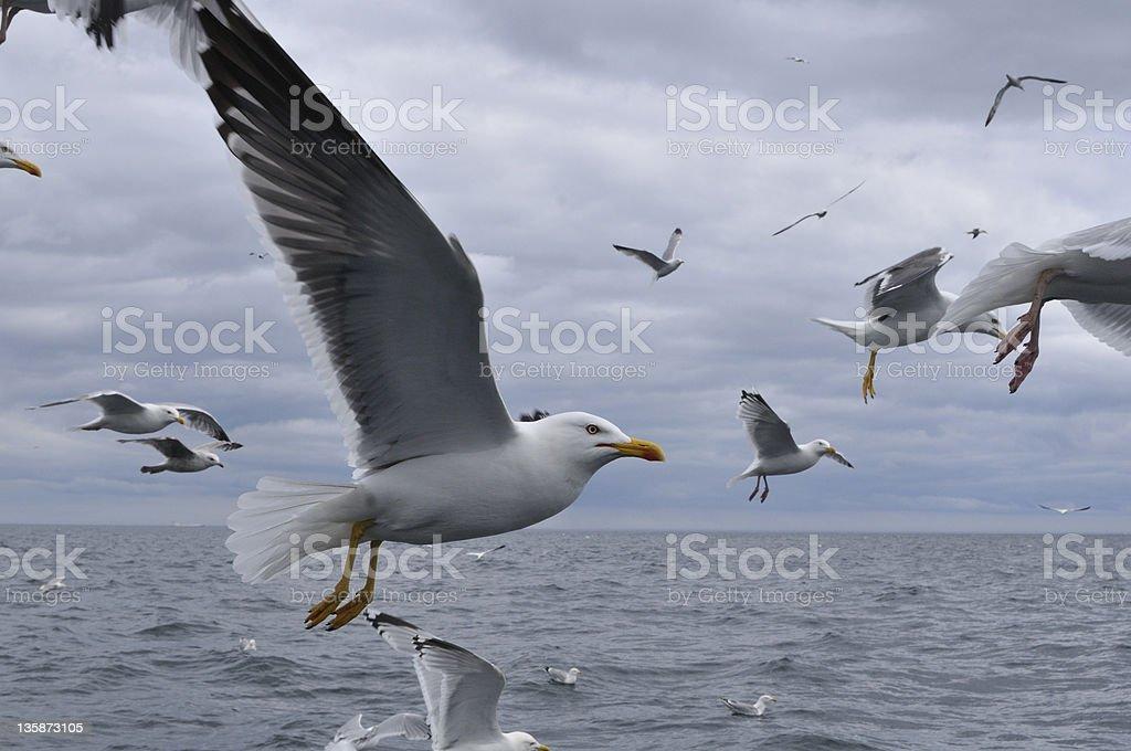 Herring Gull, Larus argentatus stock photo