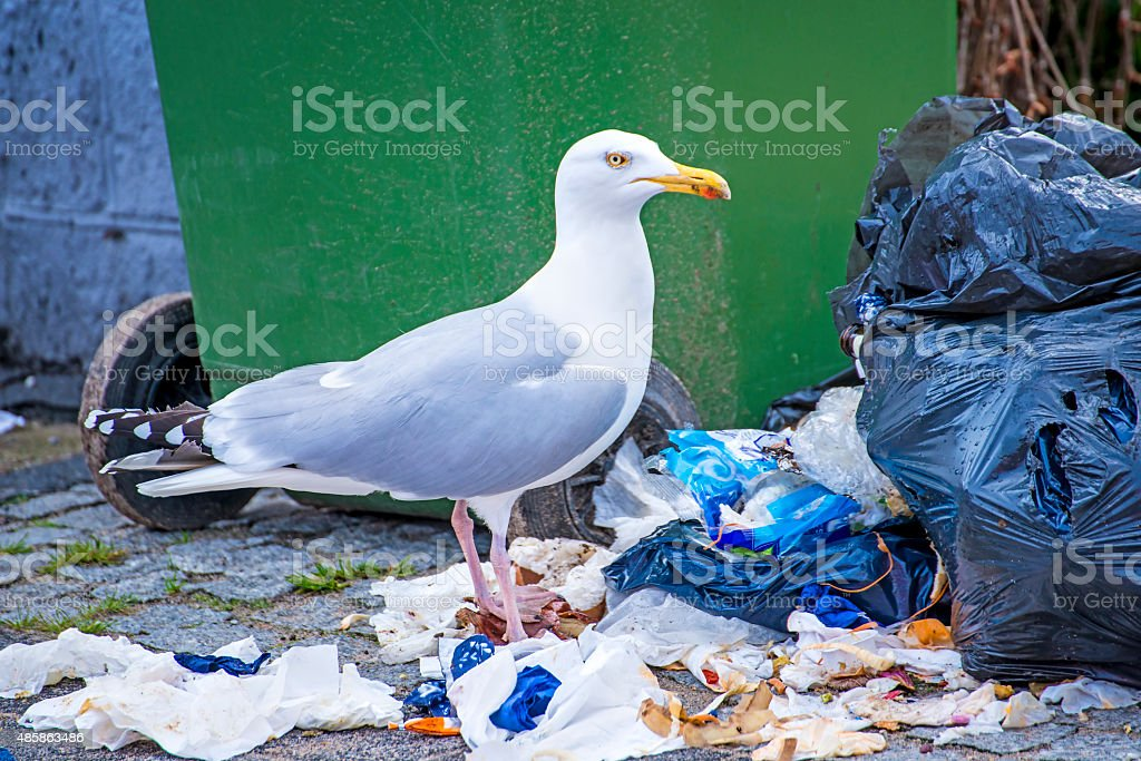 Herring gull looking for waste stock photo