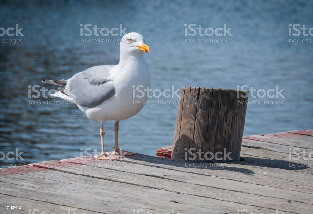Herring gull on a jetty royalty-free stock photo