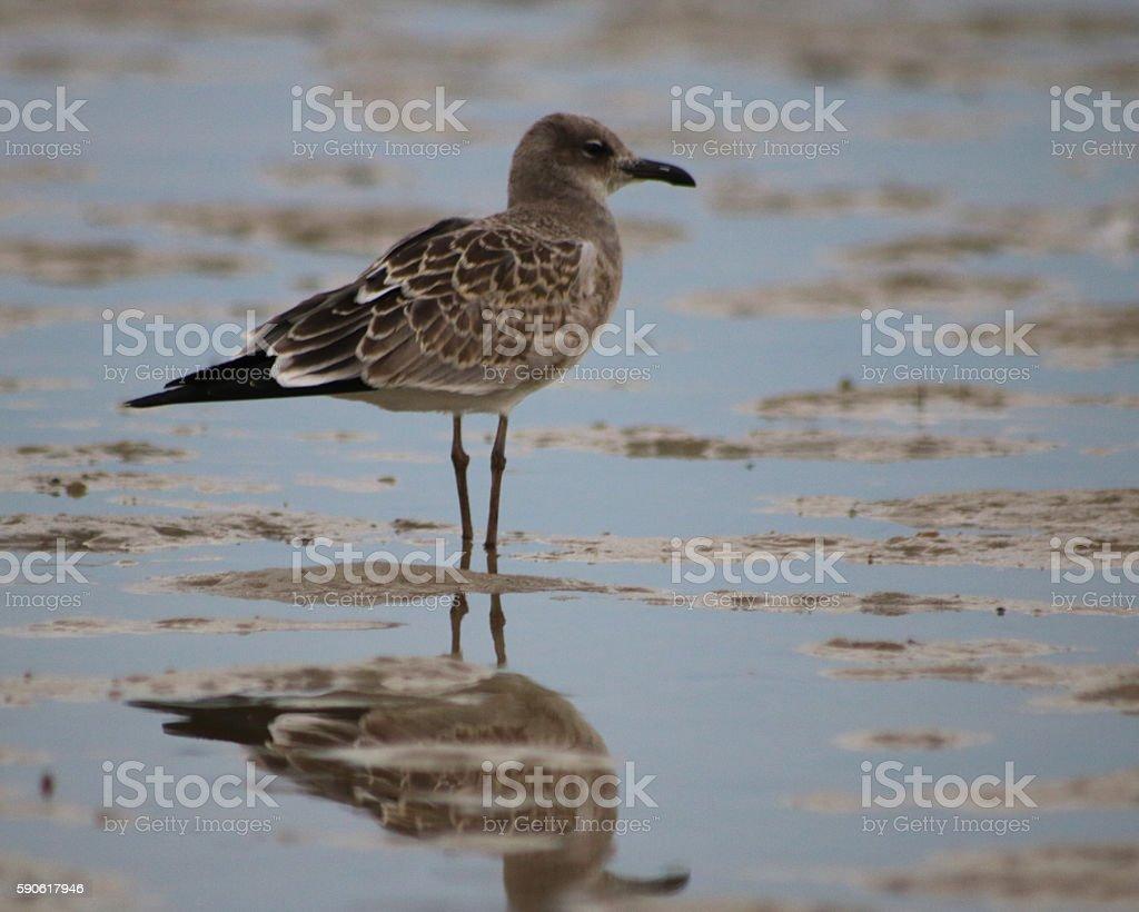 Herring gull on beach photo libre de droits
