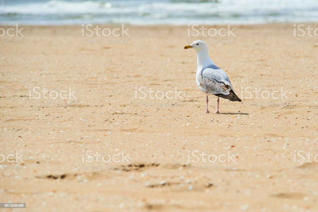 Herring gull (larus argentus) on beach stock photo