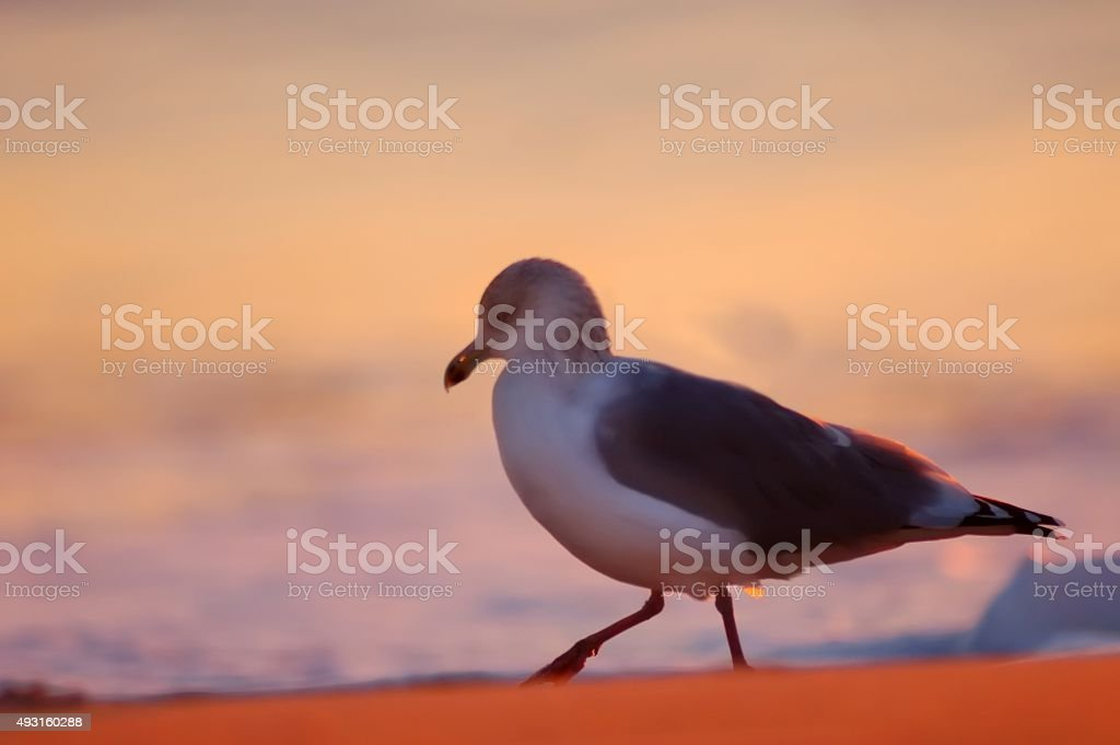 Herring Gull On Red Beach stock photo