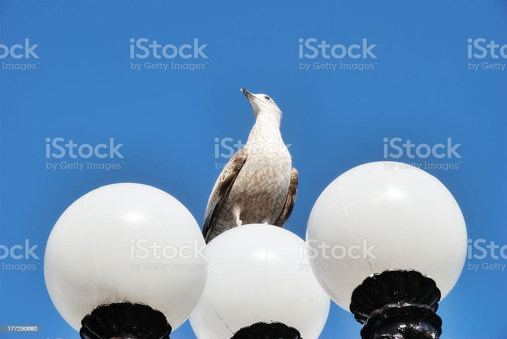 Herring Gull Perched On Lamppost stock photo