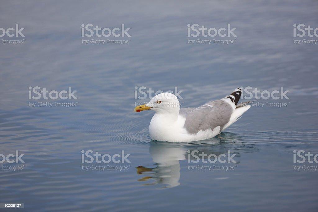 Herring Gull (Larus argentatus) stock photo
