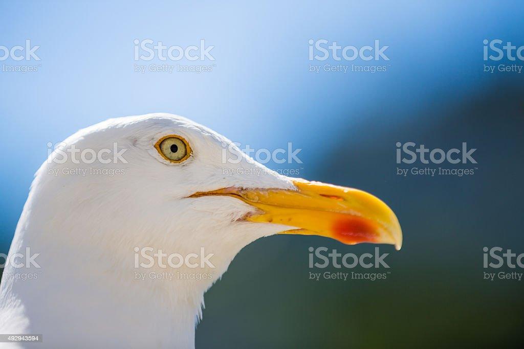 Herring Gull Portrait stock photo