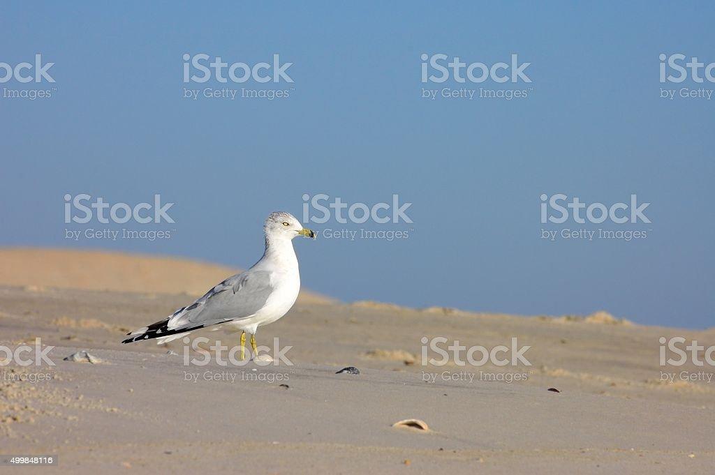 Herring Gull Profile stock photo