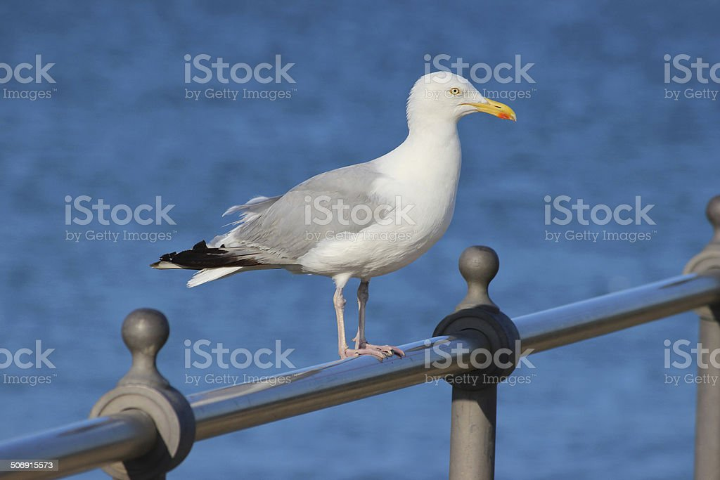 Herring gull / seagull perched on seaside railings by beach image stock photo