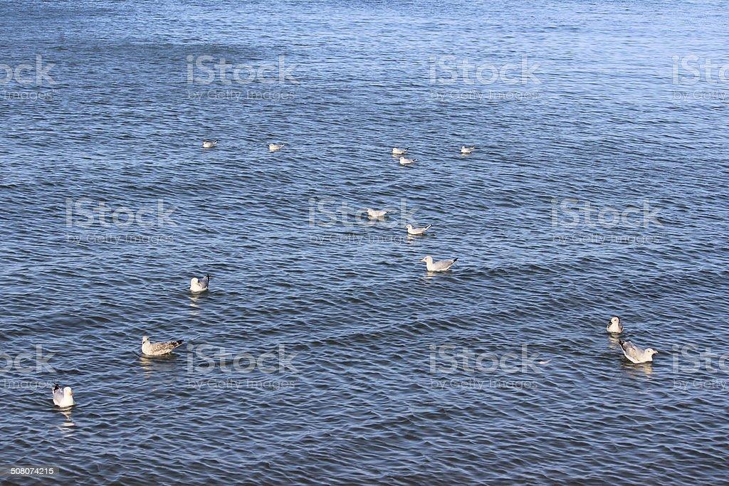 Herring gull / seagull swimming in sea water, by seaside beach stock photo