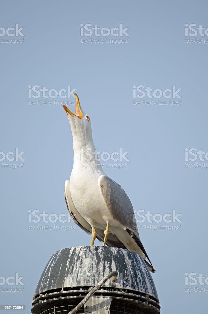 Herring Gull squarking stock photo
